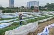 Kinh hoàng tưới rau xanh bằng nước thải ô nhiễm: Chính quyền cũng bất lực