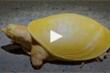 Clip: Chú rùa bạch tạng toàn thân vàng óng bất thường