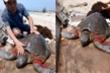 Vích biển quý hiếm nặng 40kg bị thương dạt vào cửa sông ở Nam Định