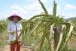 Thanh long ở Bình Thuận chết héo vì khô hạn