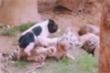 Hổ lép vế trước đòn tấn công của lợn