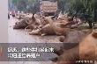 Video: Lũ cuốn trôi đàn bò trăm con
