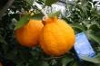 Đột nhập vườn cam lai quýt Dekopon siêu đắt 300.000 đồng/quả