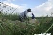 Ảnh: Theo chân nông dân Hải Phòng đi bắt chuột đồng mùa lúa chín
