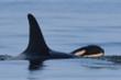 Cá voi sát thủ từng ôm xác con lênh đênh 17 ngày đã hạ sinh