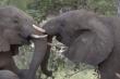 Video: Nghẹn lòng khoảnh khắc đàn voi đưa tang đồng loại