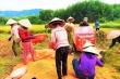 Vợ chồng đi cách ly, cả làng xúm xít đội mưa gặt lúa giùm