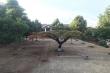 Ảnh: Hàng loạt cây phượng bị chăng dây 'cách ly', cắt tỉa đến trụi cành lá
