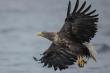 Đại bàng đuôi trắng xuất hiện trên bầu trời Anh sau 240 năm
