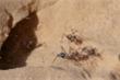 Tìm thấy loài kiến nhanh nhất thế giới ở sa mạc Sahara
