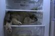 Video: Chú chó thích chui vào tủ lạnh nằm để tránh nóng