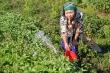 Ảnh: Nông dân ngoại thành Hà Nội 'bán lưng' dưới chảo lửa chống nắng hoa màu