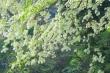 Ảnh: Tháng 3 về, ngắm hoa sưa bung nở trắng trời Hà Nội