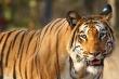 Hổ ăn thịt kiểm lâm để lại một nửa thi thể