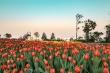 Guinness Việt Nam trao chứng nhận 'Lễ hội hoa tulip lớn nhất Việt Nam' cho Sun World Ba Na Hills