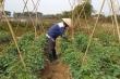 Video: Nông sản không thể vận chuyển do phong tỏa, nông dân dân Chí Linh lao đao
