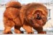 Ngao Tây Tạng giao phối với chó sói để sinh tồn trên núi cao