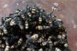 Dân Kon Tum đổ xô bắt bọ 3 sọc bán cho thương lái Trung Quốc