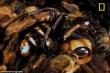 Chiến thuật đoạt mạng ong bắp cày sát thủ 'bậc thầy' của ong mật Nhật Bản
