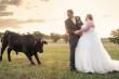 Chụp ảnh cưới, bị đàn bò phá đám