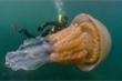 Video: Kinh ngạc thợ lặn chạm trán loài sứa khổng lồ