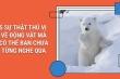 Có ai biết: Lông của gấu Bắc Cực không phải màu trắng