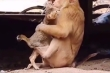 Chết cười xem khỉ 'tán tỉnh' mèo, đòi ôm bằng được