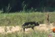 Video: Trâu rừng phi như bay, húc sư tử giải cứu kỳ đà