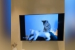 Mèo xem tivi học cách massage