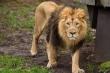 Cảnh sát bắn hạ sư tử vồ chết chủ nuôi
