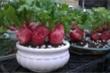 Những chậu rau quả 'độc lạ' đắt khách chưng Tết