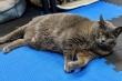 Chú mèo nặng 11kg tập thể dục quyết tâm 'giảm béo'