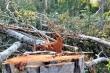 Khởi tố vụ lâm tặc 'xẻ thịt' rừng tự nhiên ở Đắk Lắk
