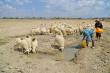 Ảnh: Chăn nuôi cừu trên vùng đất khô hạn