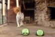 Vườn thú Nga cho động vật 'tiên tri' kết quả bầu cử Tổng thống Mỹ 2020
