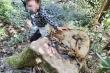 Cận cảnh rừng già ở Gia Lai bị 'xẻ thịt'