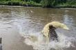 Cá sấu ngoạm ngang thân đồng loại để tranh mồi