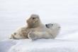 Nhiếp ảnh gia kinh ngạc ghi lại khoảnh khắc gấu Bắc Cực tập yoga