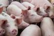 Lô 500 con lợn nhập từ Thái Lan về đến Việt Nam