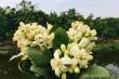 Tháng Hai, hoa bưởi Diễn nở trắng một góc trời Hà Nội