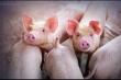 Giá thịt lợn nội địa tăng cao, Thái Lan tính phương án hạn chế xuất khẩu