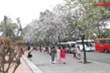Video: Người Hà Nội nô nức chụp hình cùng hoa ban Tây Bắc nở rộ gần Hoàng Thành Thăng Long