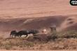 Video: Đàn trâu rừng giải cứu đồng loại khỏi bầy sư tử