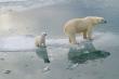 Gấu Bắc Cực có thể tuyệt chủng vào năm 2100