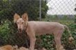 'Nhan sắc' chó cưng trước và sau khi trụi lông