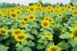 Cánh đồng bạt ngàn hoa thu hút giới trẻ TP.HCM