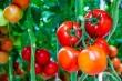 Mẹo bảo quản cà chua luôn tươi ngon quanh năm