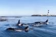 Tranh cá ngừ với ngư dân, cá voi sát thủ trở nên manh động, hung hãn