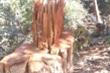 Cận cảnh bãi khai thác gỗ trái phép ở Kon Tum