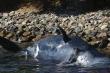 Cá nhà táng mang thai chết khi trong bụng chứa 22 kg rác thải